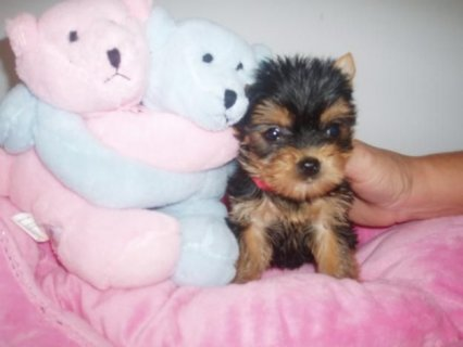 Cute Teacup Yorkie Puppies Prince and Princess