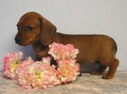 Well Trained Dachshund Puppies For Rehoming