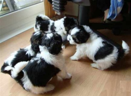 Adorable Shih Tzu Puppies for Adoption