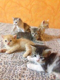 قطط شيرازية امريكية صغيرة
