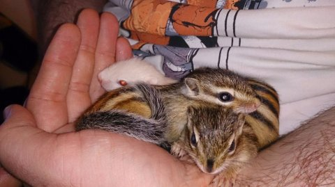 Babies Chipmunks For Sale Available Now