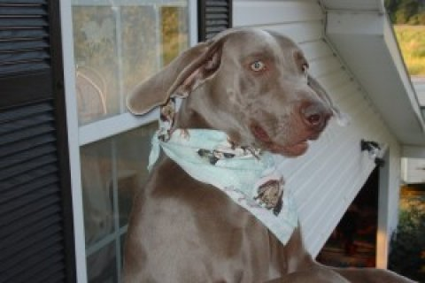 Beautiful Weimaraner Puppy for Sale