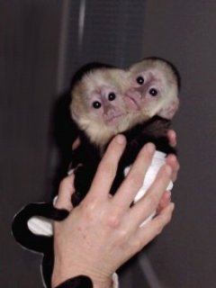 Cutte Capuchin monkeys available email us