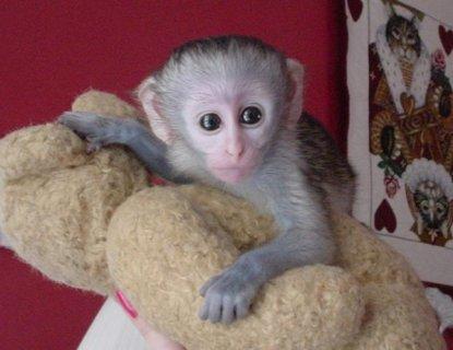 wonderful exoltic capuchin baby for adoption