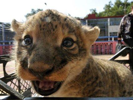 Cheetah Cubs for sale Tiger cubs for sale  Lion cubs for sale