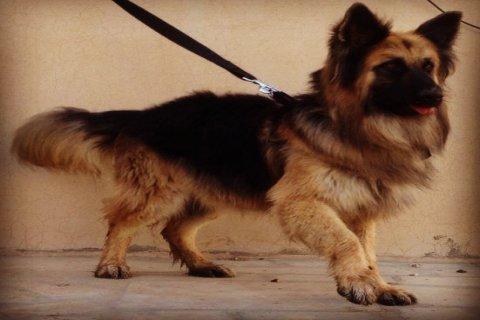 فرصه للبيع كلب جيرمن لونق هير بيور بالرياض