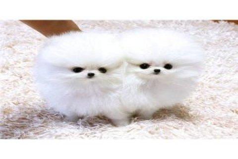 Cream Pomperanian Puppies for sale