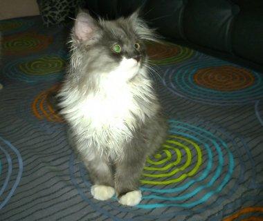 قط شيرازي رمادي × أبيض للبيع