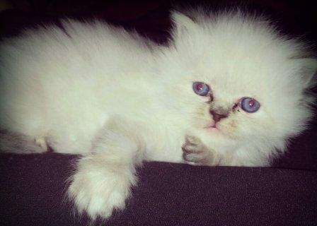 قطة هيملايا هاف بيكي فيس .