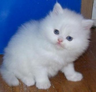 Nice Looking Persian Kittens Ready For Good Homes....