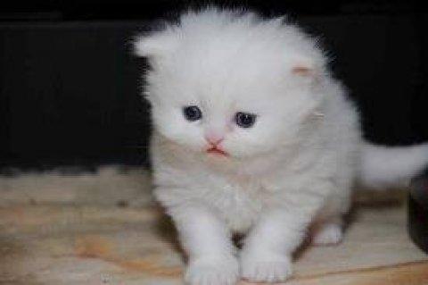 White persian kittens for sell,,,,,