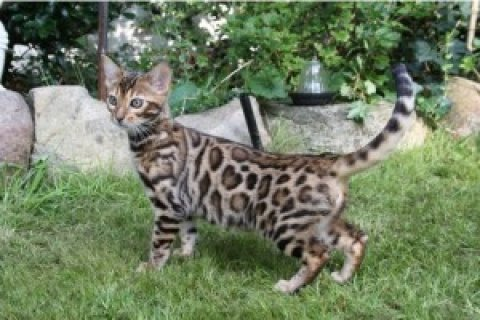 Bengal Kittens Available,