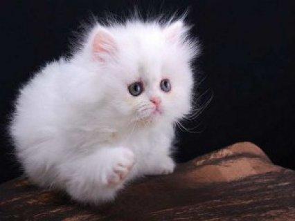 Persian Kittens,,,,,
