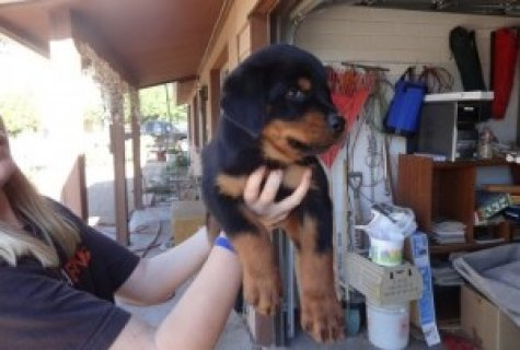 Awesome Rottweiler Puppies for Adoption,,,,,,,,,,,