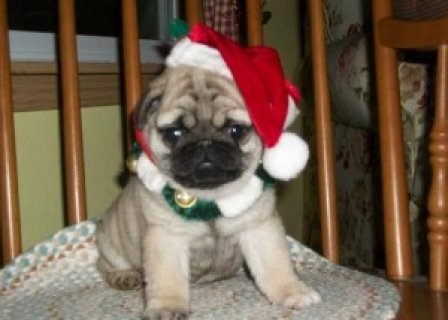 little girl is registered Pug Puppies Ready to go