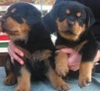 German Rottweiler Puppies for Adoption