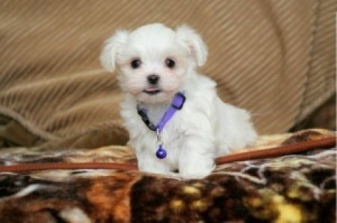 Maltese Puppies Available..............