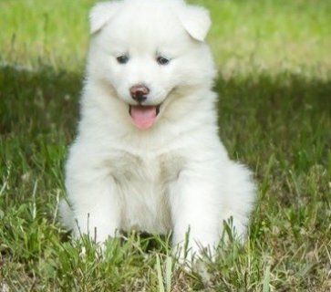Pure Siberian Husky Puppies,,,,