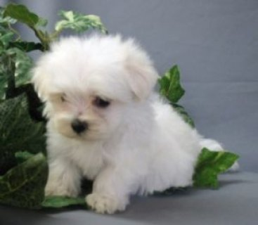 Male and Female Maltese puppies available for adoption