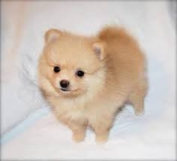 Beautiful Teacup Pomeranian Puppies,,,,