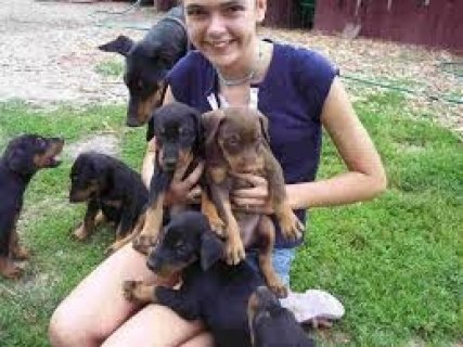 4 Doberman Pinscher Puppies Available