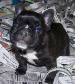 Affectionate French Puppies For Good Homes..............