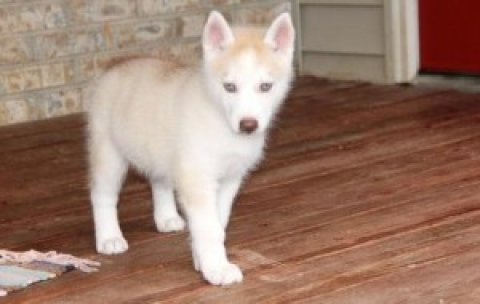 very first cotton identification Siberian Husky Puppies For Sale