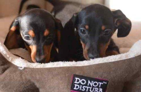 Pedigree Miniature Dachshunds Puppies