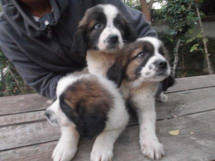 كلاب سانت برنالد