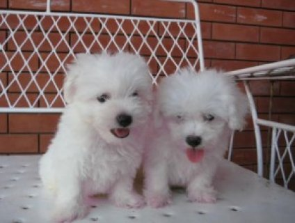 Bichon frise puppies ready(new christmas famliy members)