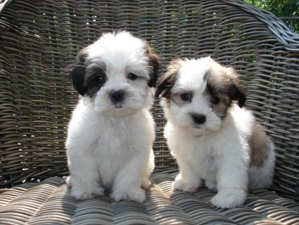 Tiny, cute, registered female shih tzu  Puppy for adoption.