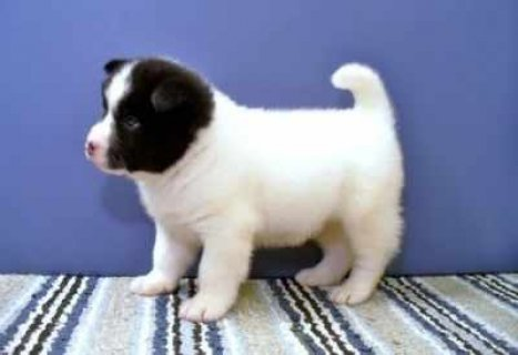 Two beautiful Male and female Akita Puppies for adoption