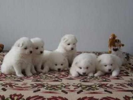 GENERATION PEDIGREE UKC REGISTERED SAMOYED PUPPIES GOOD CHRISMAS
