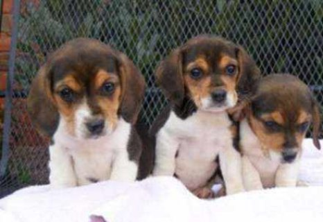cute Adorable Males and Females Beagle Puppies