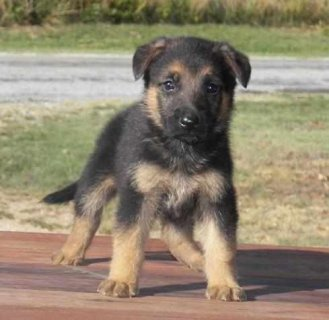 Beautiful german shepherd puppies for your family. They are  Ado