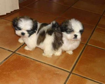 Affectionate Shih Tzu Puppies In Need Of A Loving Home.