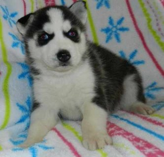 Cute male and female siberian puppies ready now for  Adoption