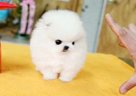 Adorable teacup pomeranian puppies available