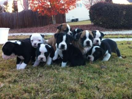 Adorable English Bulldog Puppies For Sale