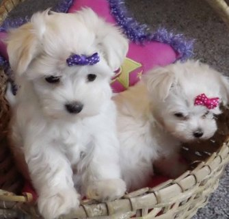 Gorgeous Tiny Maltese Puppies Gorgeous Tiny Maltese Puppies