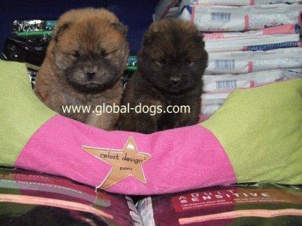 كلاب تشاوتشاو للبيع
