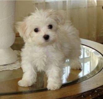 Cute Purebred Maltese Puppy  for adoption