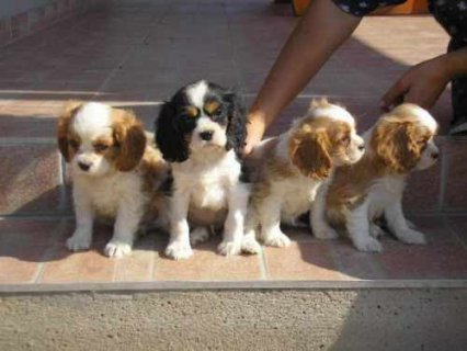 صور Adorable cavalier king charles Puppies For Adoption 1