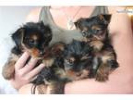 Healthy Tea cup Yorkie puppies for adoption