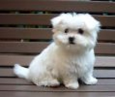 maltese puppies for a home...