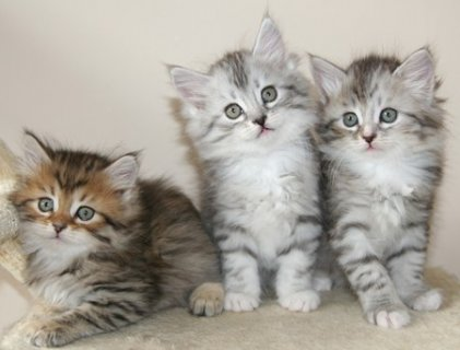 صور Siberian Kittens Available 1