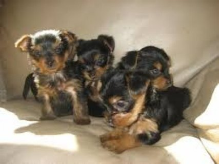 Top Quality Male and Female Yorkshire Terrier Pups For Xmas   He
