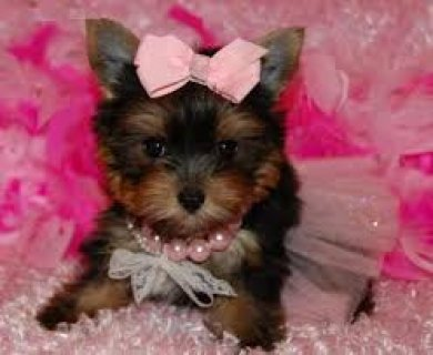 Adorable Yorkie Puppies for Re-homing