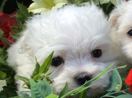 صور Xmas Male And Female Maltese Puppies 1