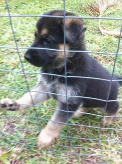 Top Quality German shepherd German Shepherd for Adoption